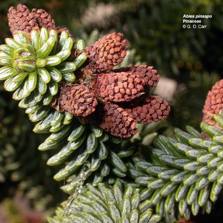 Abies sp.