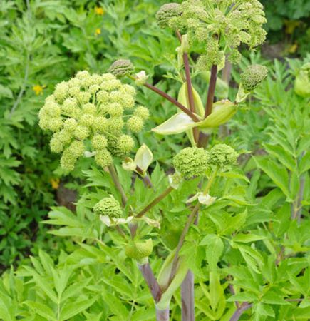 Angelica in tratamentele alternative
