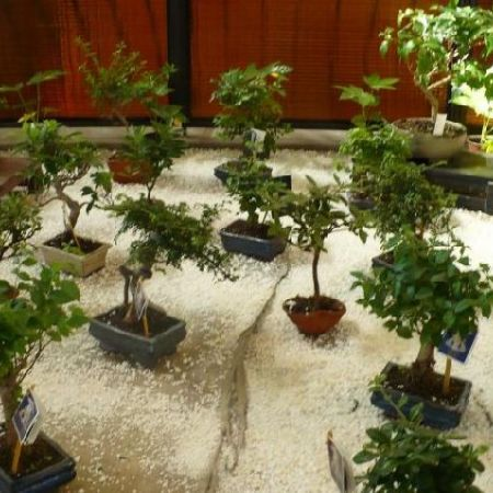 Bonsai - copacei miniaturali