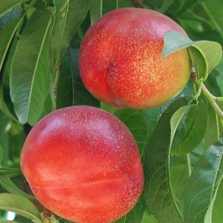 Red Diamond, nectarine savuroase