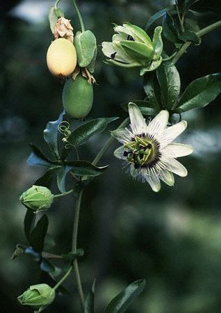 passiflora_tulpina_frunze_floare_fructe