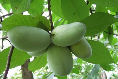 Fructul pawpaw, desertul favorit al lui George Washington