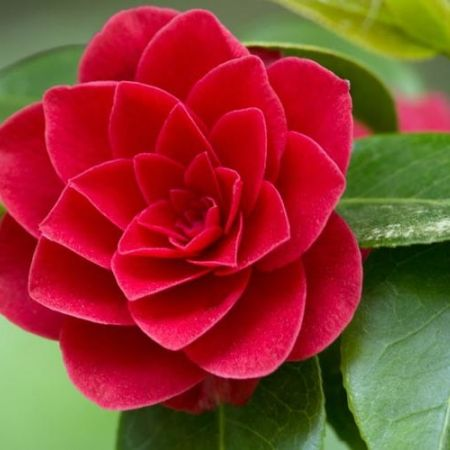 Camelia Red, rafinament nipon in gradina