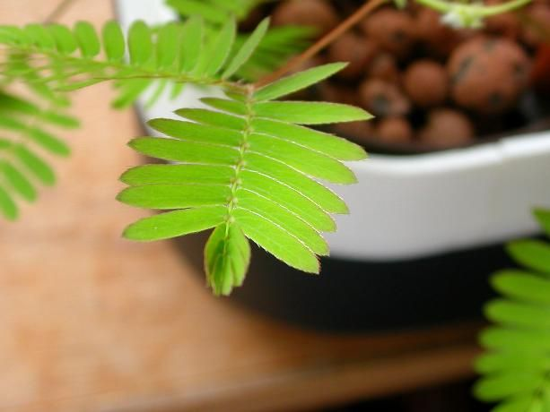 mimosa pudica (a)