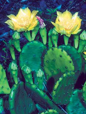 Opuntia humifusa 2