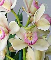 Pagoda Green Cymbidium