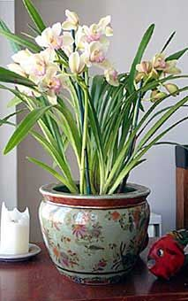 Pagoda Green Cymbidium 2