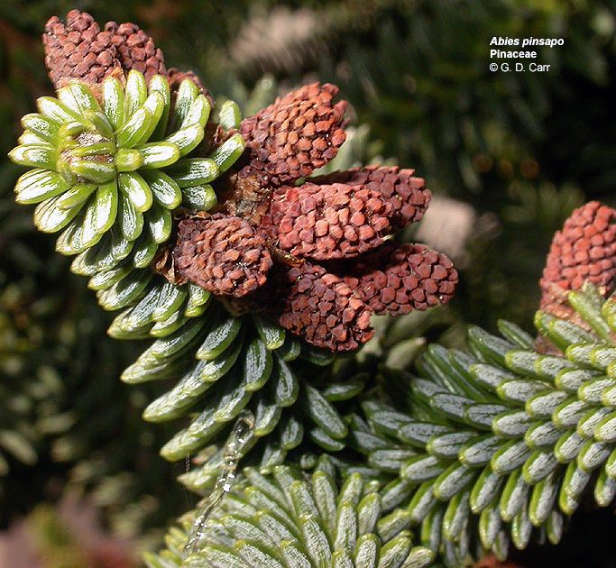 abies sp. (brad 1)