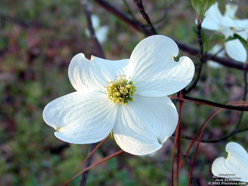 floare de Cornus florida