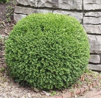 Buxus Wintergreen