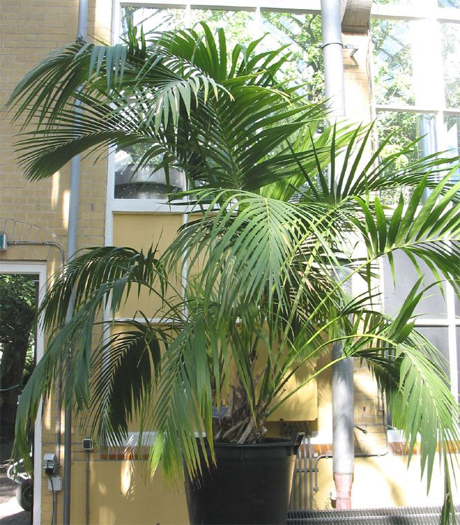 Kentia - Howea fosteriana