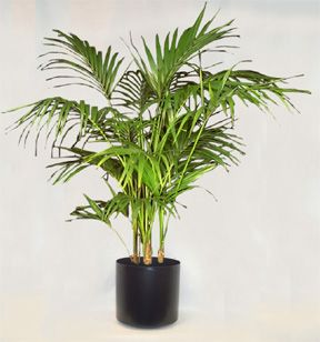 Kentia - Howea fosteriana (b)