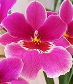 orhidee Miltonia (5)