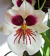 orhidee Miltonia (3)