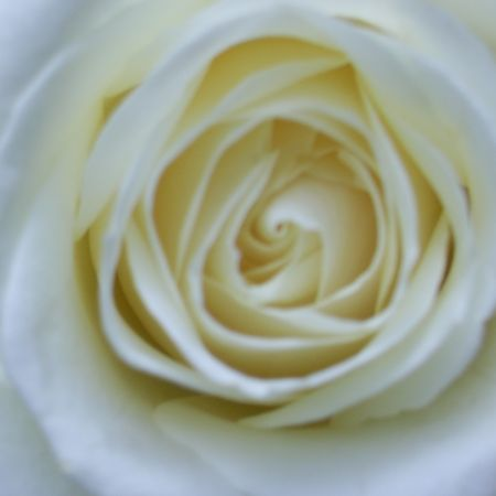 another white rose